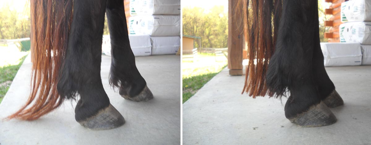 Angel's tail before and after getting several inches trimmed from it. Laminitis caused the tail to grow excessively.