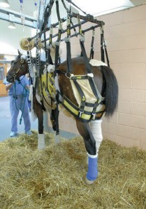 Barbaro recovers after shattering three bones in his right hind leg.
