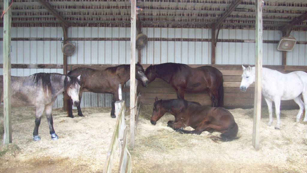 From left: Goldie, Angel, Robin, Stitches (lying down) and Kurt all hang out together. Wherever the mares were, the geldings were, too.