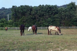 Five horses kept this field bare year-round in the early 2000s, yet three of the horses -- the mares -- foundered.