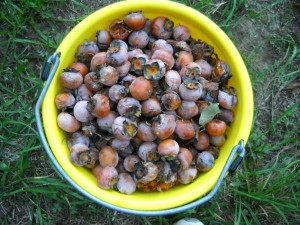 A bucket this size holds about 550 persimmons, a lethal amount for a horse to consume.