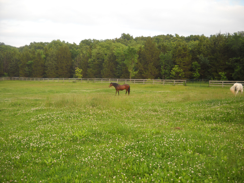 One of the horse pastures covered with weeds on May 31, 2015.